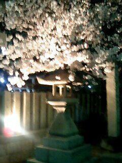 野見神社の夜桜