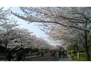 JT医薬総合研究所の桜の通り抜け