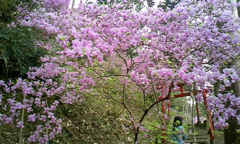 雲岩公園のつつじ祭り